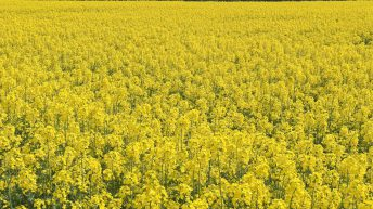 Oilseed rape area increases for the first time in 7 years