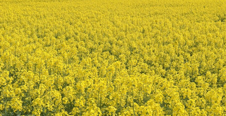 Volunteer crops main cause of elevated erucic acid levels in OSR