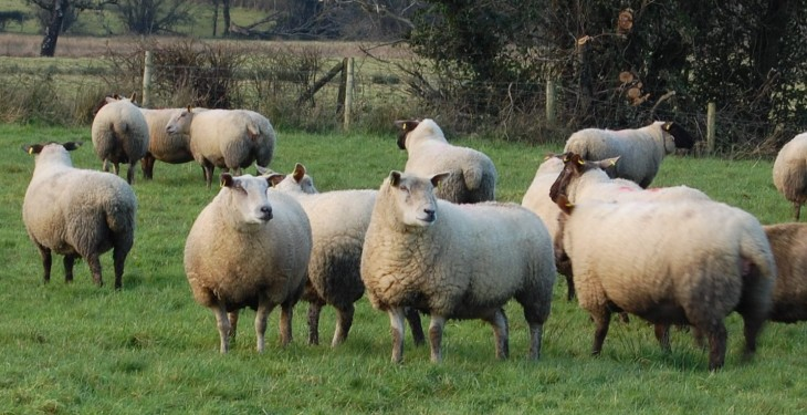 Sheep numbers in the North reach highest level since 2004