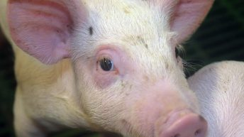 Report shows 8% increase in cost of UK pig meat production