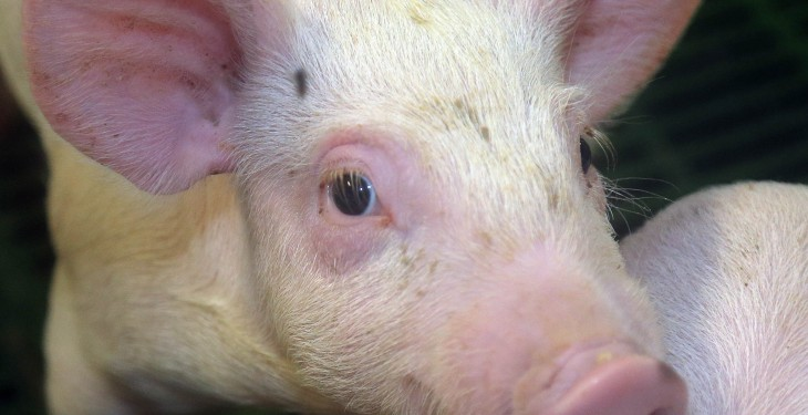 Prime pig prices follow seasonal trend
