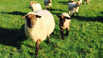 Sheep farmer banned from owning animals and fined for animal welfare offences