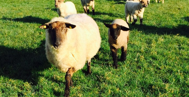 Farmer feedback suggests just 1 in 5 pet lambs get enough colostrum
