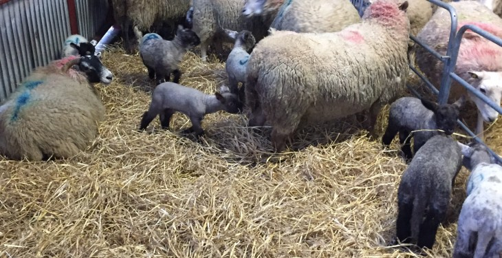 Farmers urged to vaccinate against enzootic abortions in ewes