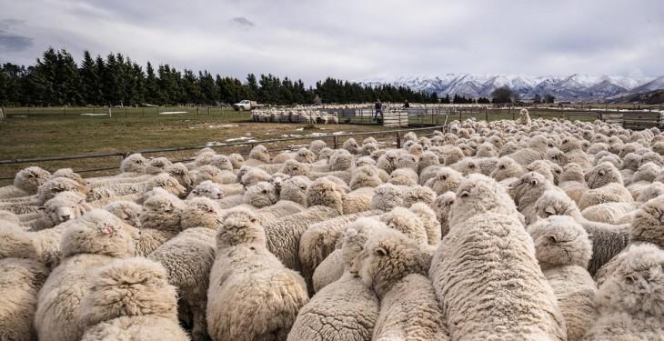 Australia exports 1,400 sheep to China to improve genetics of the flock