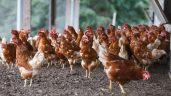UK researchers develop novel vaccine for Newcastle disease