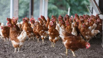 Tesco weighing up challenge of cost for Scottish egg producers