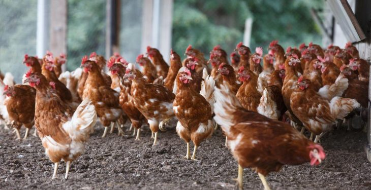 Newcastle Disease threat raised to 'medium'