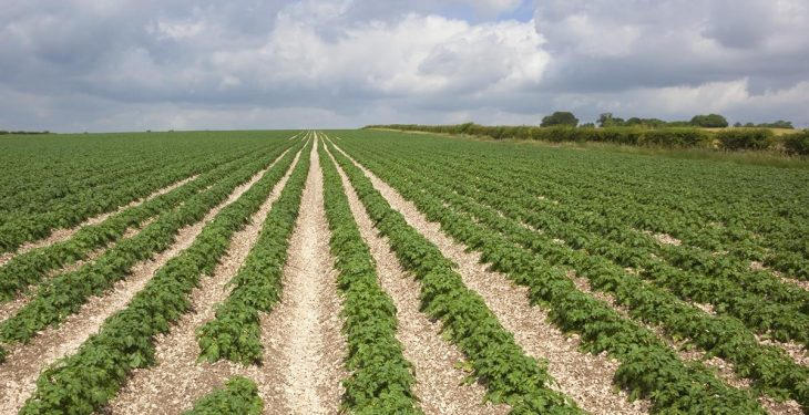 Potato plantings increase 2.8% after record low area in 2015