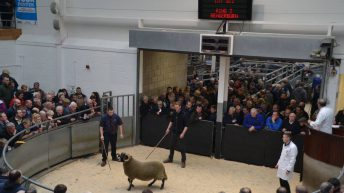 Video: Blackface ram lamb sells for over €95,000 at Scottish sale
