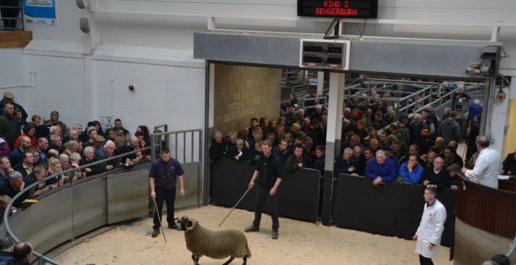 Video: Blackface ram lamb sells for over €95,000 at Scottish sale