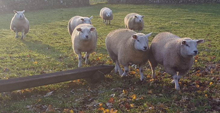 Third of farmers on Welsh sheep efficiency project say they want to boost flock fertility