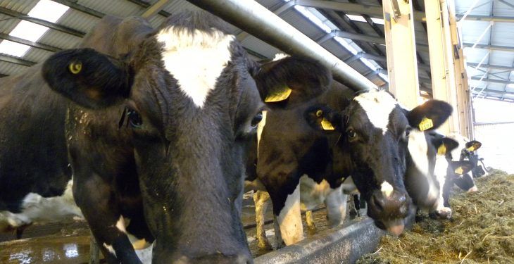 'Almost one in five dairy cows will succumb to lameness each year'