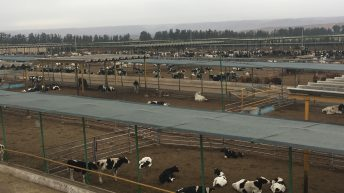 Pics: 7,000 cattle feedlot with a difference in Morocco