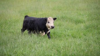 New Zealand bull could blow world's smallest bull competiton wide open
