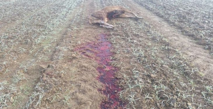 Two red deer found shot by poachers on protected lands