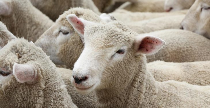 Rustling advice issued after 200 sheep stolen in Wiltshire over just 3 months