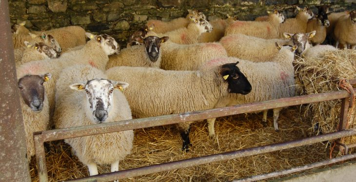 Study reveals sheep farmers are 'hesitant' to seek the help of vets