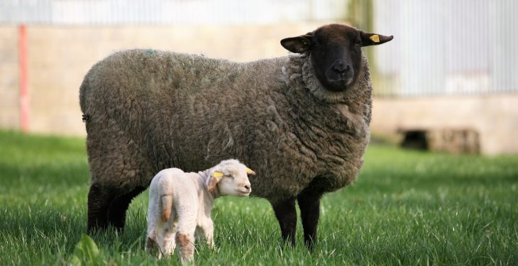 Lamb losses a threat as warm weather causes Nematodirus and roundworm spike