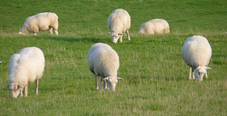 Sheep put down after worrying attack