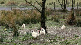 Avian influenza control measures to be lifted in the North