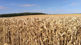 Understanding how Fungi 'tastes' wheat could hold key to controlling crop disease