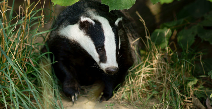 DAERA to begin NI badger sett surveys in bid to tackle TB crisis