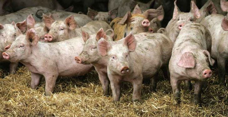 Why African Swine Fever could be pigs' next big threat
