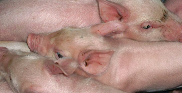 Bayer launches new injection for coccidiosis and iron deficiency in piglets