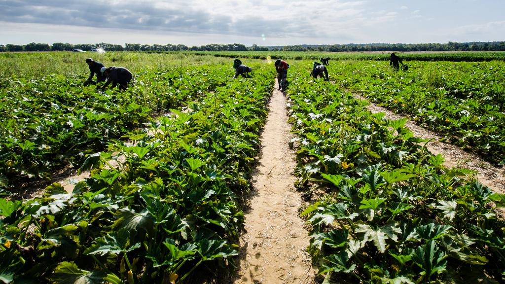 UK farm slave labour slavery, Brexiteers