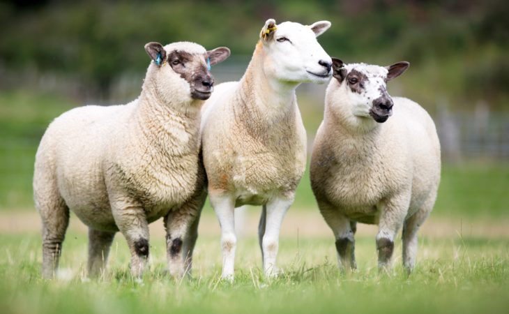 India is turning out to be a good news story for the UK's sheep industry