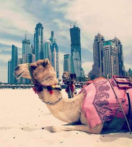 Camel lying on the sand with the Dubai skyline in the background. Discover Dubai Hen Party