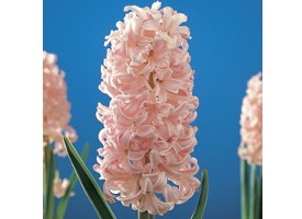 Hyacinthus Lady Derby