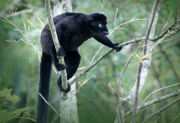 West Country designers team up with Bristol Zoo to save Madagascar's lemurs