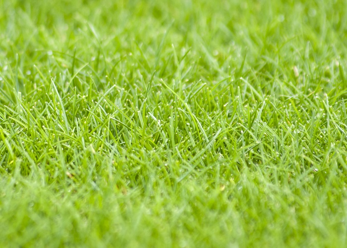 Revised ryegrass mixture offers improved fineness of leaf