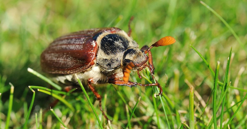 Authorisation received for chafer grub control