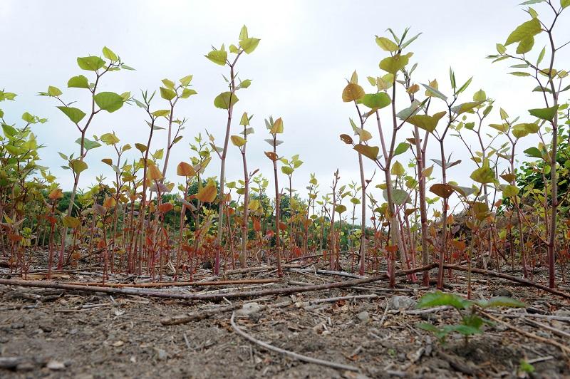 Court orders eradication of Japanese knotweed infestation