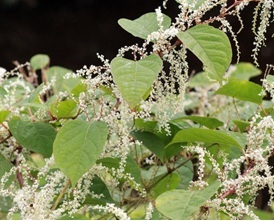 Misinformation is a big risk as Knotweed itself, say plant experts.