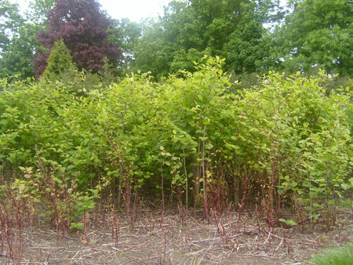 A new option for controlling invasive and tough woody weeds