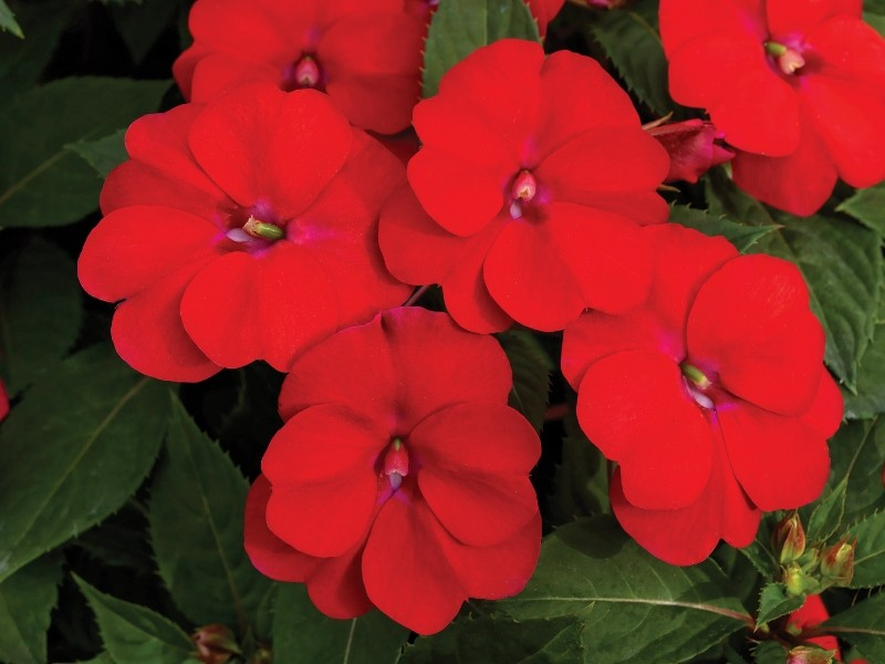Add shape, scale and vibrancy with new Sunpatiens colours