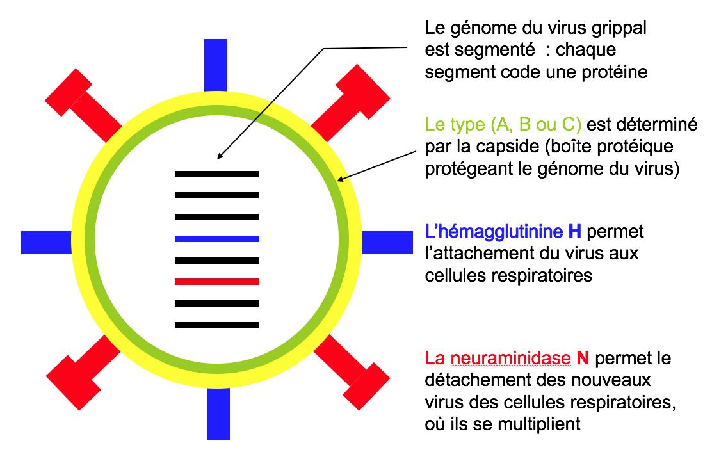 Calendrier Des Vaccinations Et Recommandations Vaccinales 2019.Grippe Saisonniere Mesvaccins Net