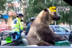 oso pardo sidecar 2