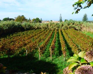 Passeio Pedestre + Degustação de Vinhos por Sintra e Colares   4h30