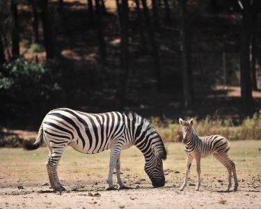 Dia Mágico na Natureza do Badoca Safari Park! Bilhete de Adulto