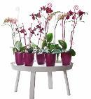 ELHO Orchideenstab Elegance 55 cm - transparent - 349476 Thumbnail