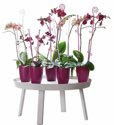 ELHO Orchideenstab Elegance 55 cm - transparent - 349476