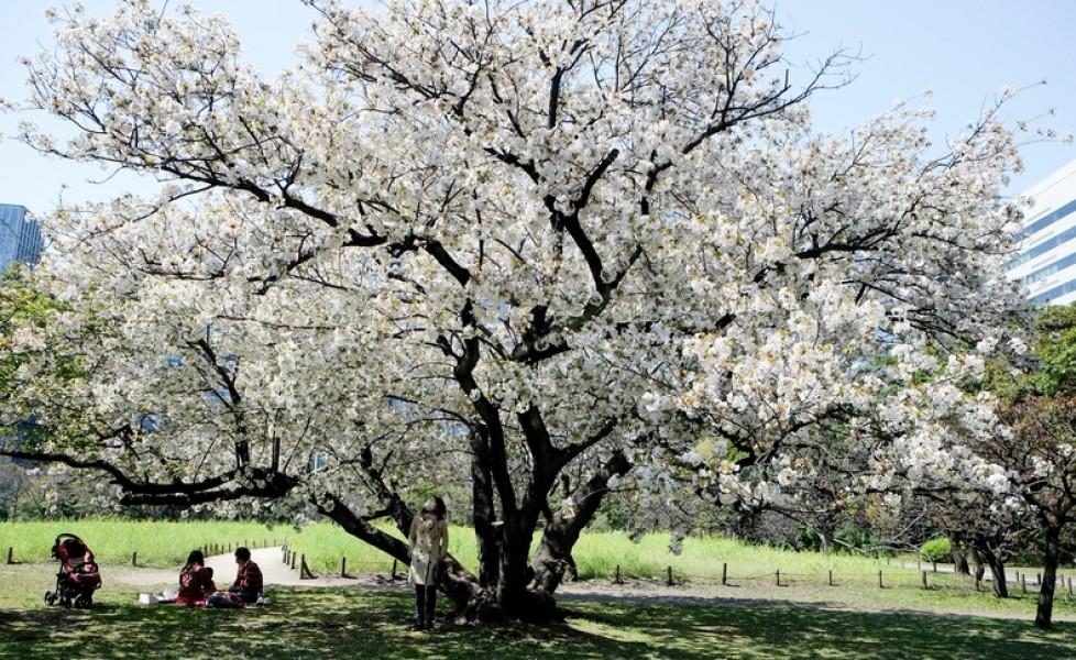 La fioritura dei ciliegi in giappone tpi for Giardino hamarikyu