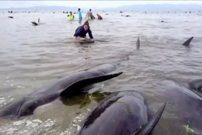 Nuova Zelanda, 400 balene spiaggiate: è corsa contro il tempo