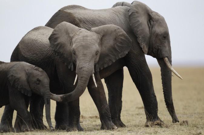 Nella savana africana è strage di elefanti a causa del bracconaggio