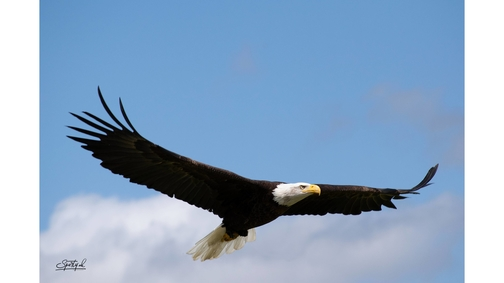 Alaskan Bald Eagle2